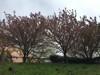 代々木のオリンピックセンターの桜