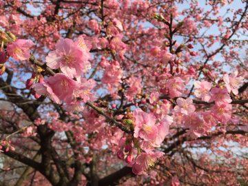 代々木公園の早咲き桜