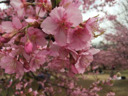 代々木公園の早咲きの桜